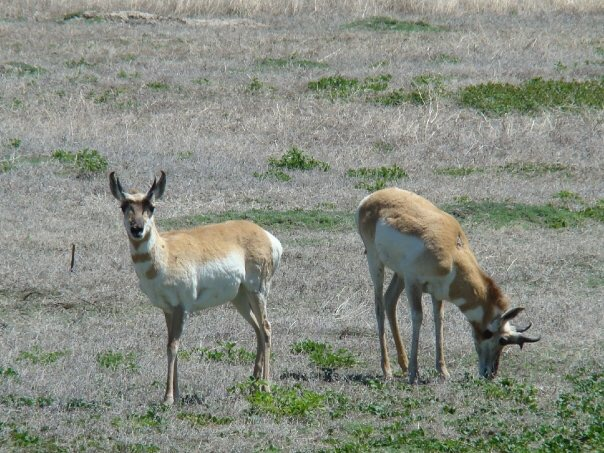 Two pronghorns in Badlands National Park